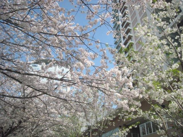 パークシティ豊洲 桜