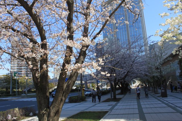 豊洲の桜 2012
